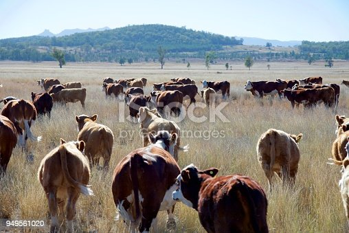 Cattle muster of a Herd of grass fed beef cattle in drought in rural NSW Australia