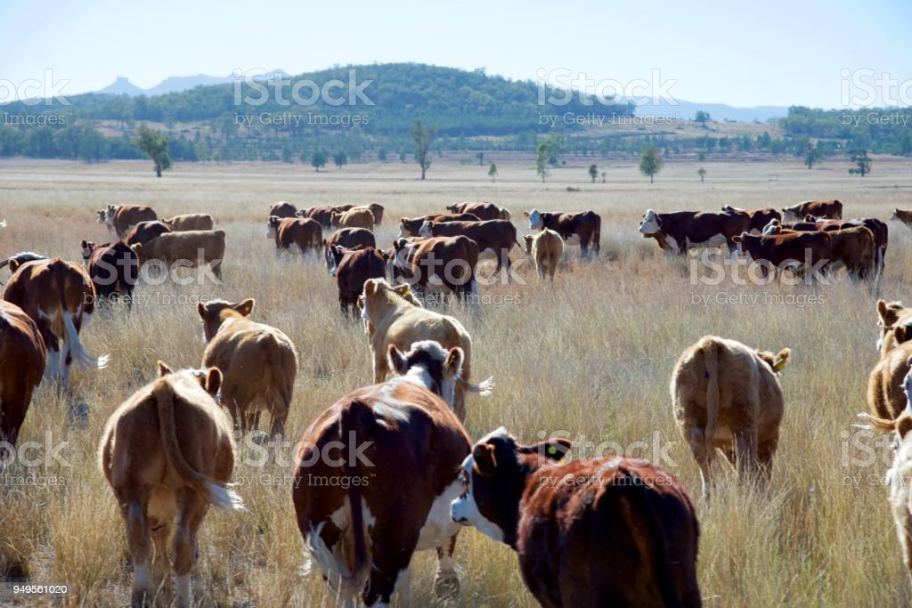Grass fed beef cattle stock photo