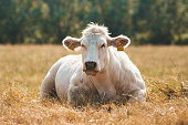 White cow lying on the grass