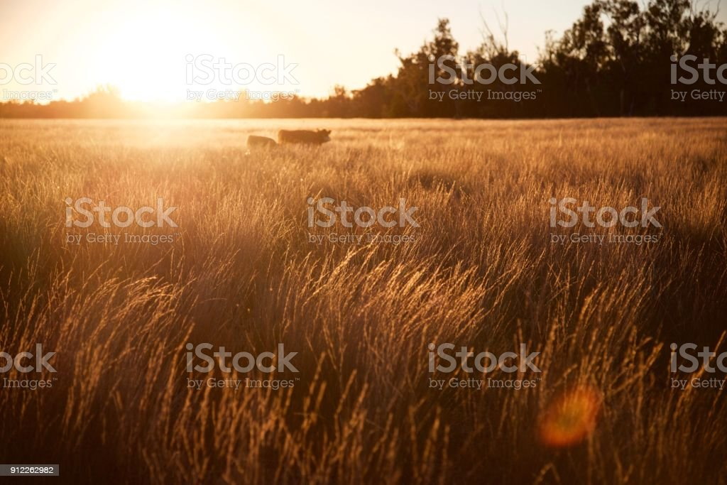 Grass fed cow and calf moving at sunset stock photo