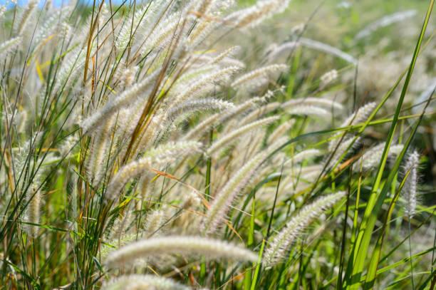 grass field in the wind - семейство злаков стоковые фото и изображения