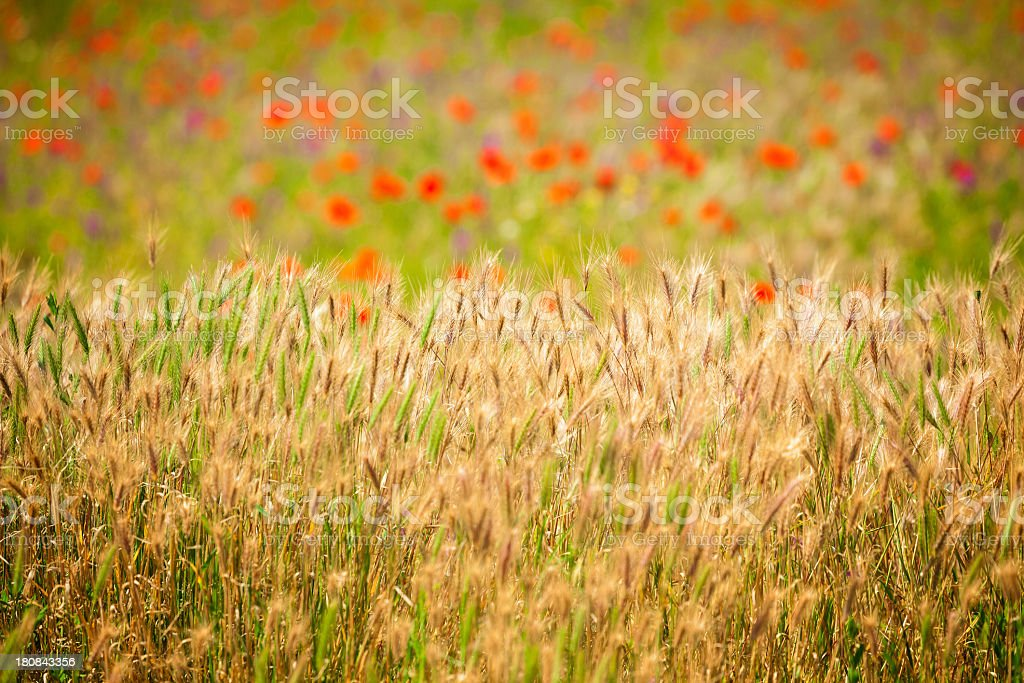 Grass field on sunny day royalty-free stock photo