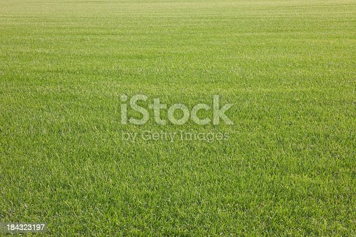 A huge field of grass at a commercial sod farm lights up in the late day sunlight. Focus is on the foreground. XXXL size available. Here are some related images: