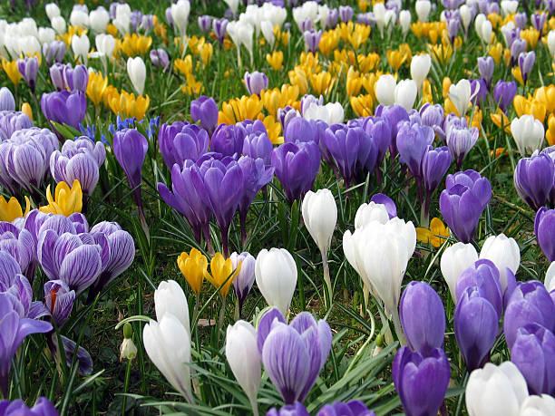 pelouse complet de violet, de blanc et de jaune crocus de printemps - crocus photos et images de collection