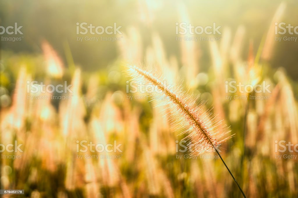 Grass flower among the sun light ray in the morning. royalty-free stock photo