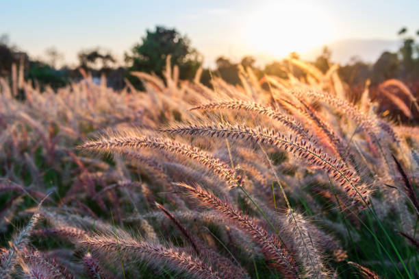 grass flower at sunset. - june stock photos and pictures
