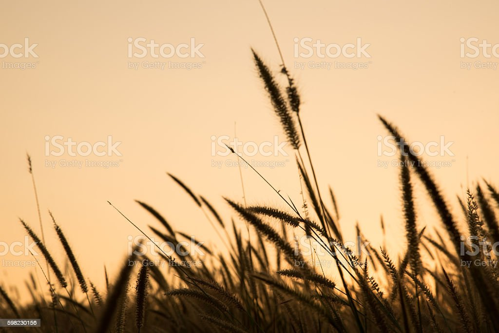 Grass flower at sunset time for background foto royalty-free