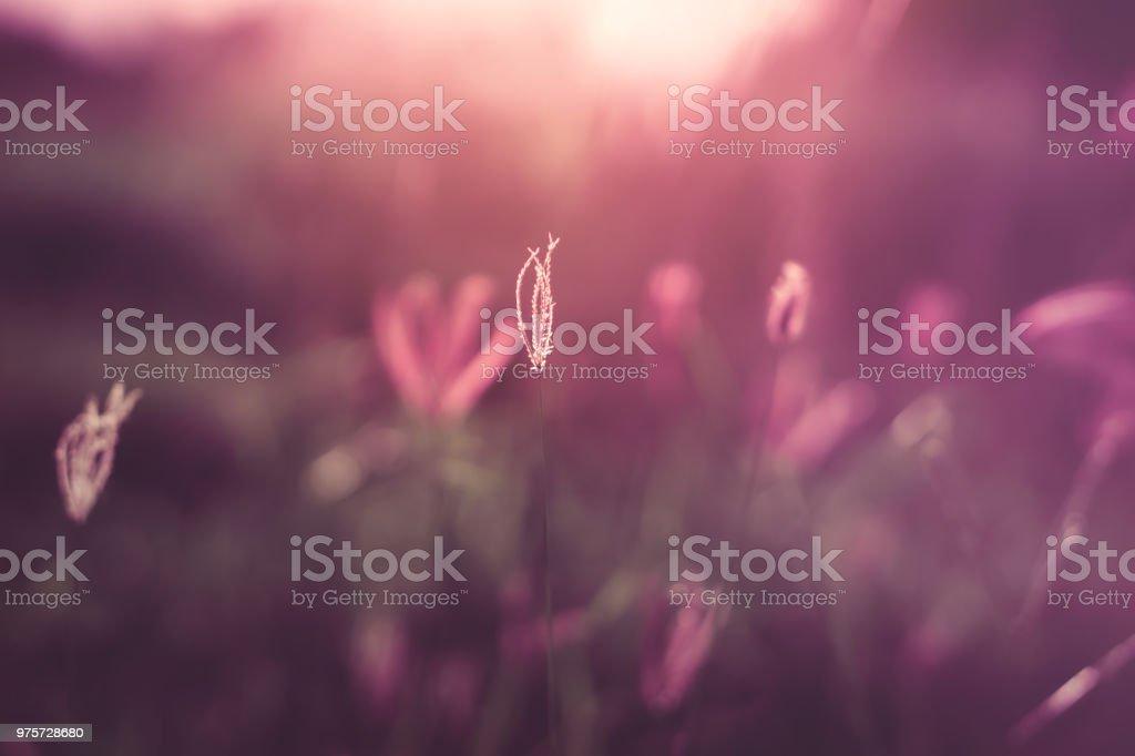 Blumenwiese in lila Vintage Ton Sonnenuntergang leichten Abend Hintergrund - Lizenzfrei Abenddämmerung Stock-Foto