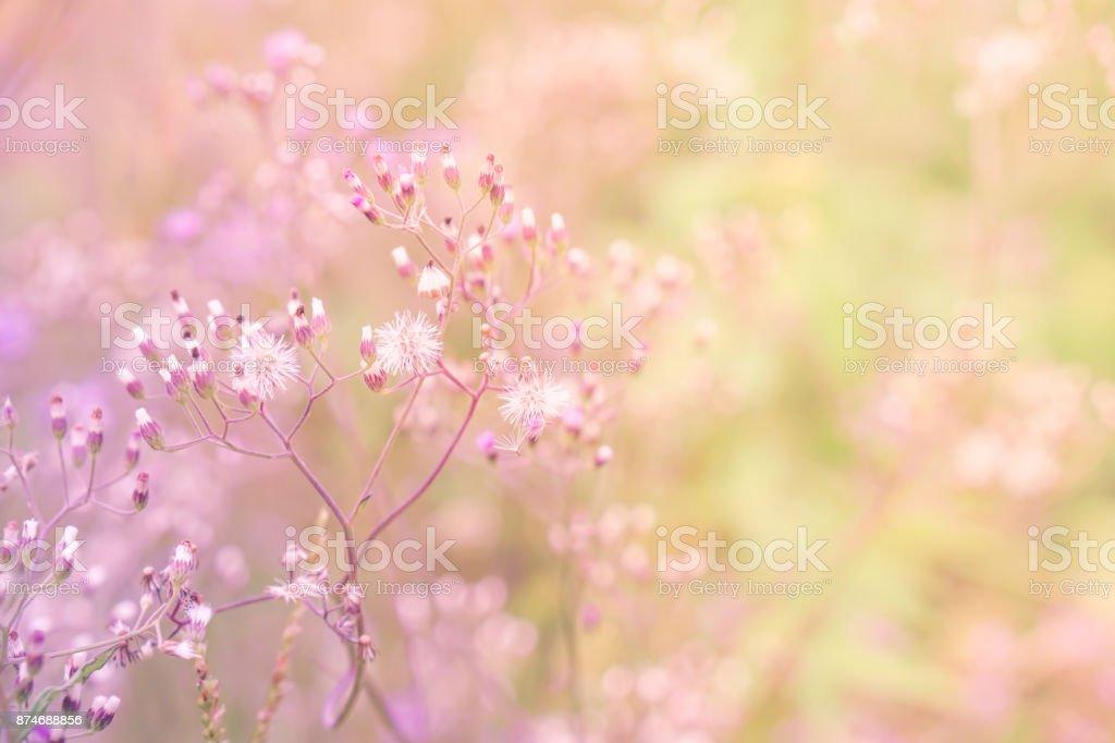 Grass flower field in spring background with sunlight in pink pastel grass flower field in spring background with sunlight in pink pastel tone royalty free stock mightylinksfo
