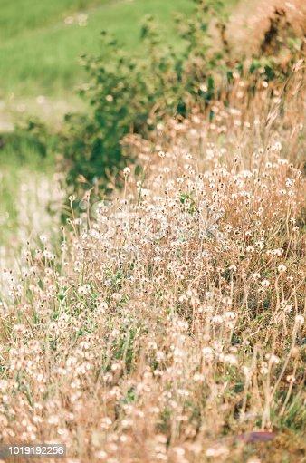 Grass flower in nature