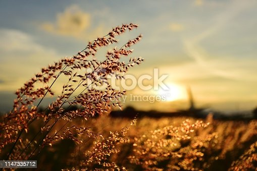 grass flower field on sunset
