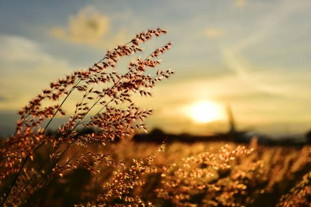 flor da grama - cena rural - fotografias e filmes do acervo