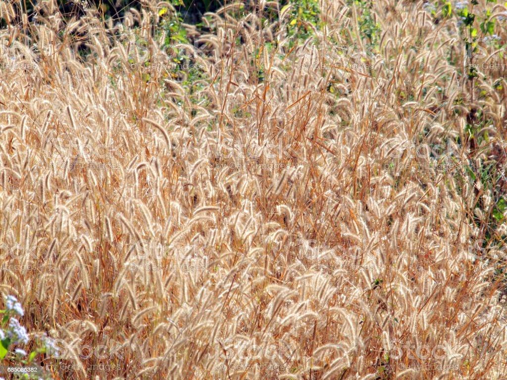 Grass flower foto de stock libre de derechos