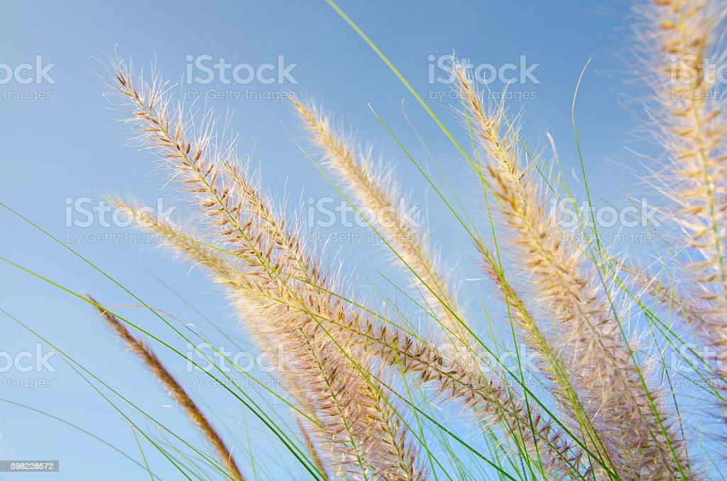 Grass Flower Sunset and Blue Sky foto royalty-free