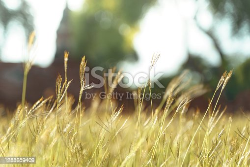 Grass flower with beautiful sunset and soft focus.