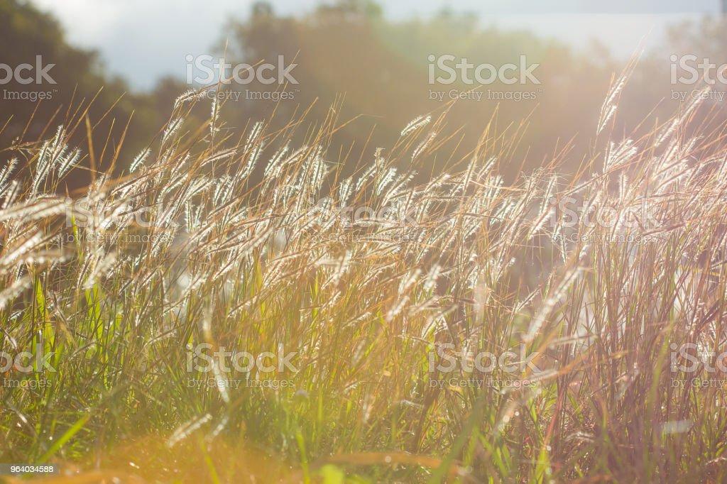 朝の光と草の花 - 2015年のロイヤリティフリーストックフォト
