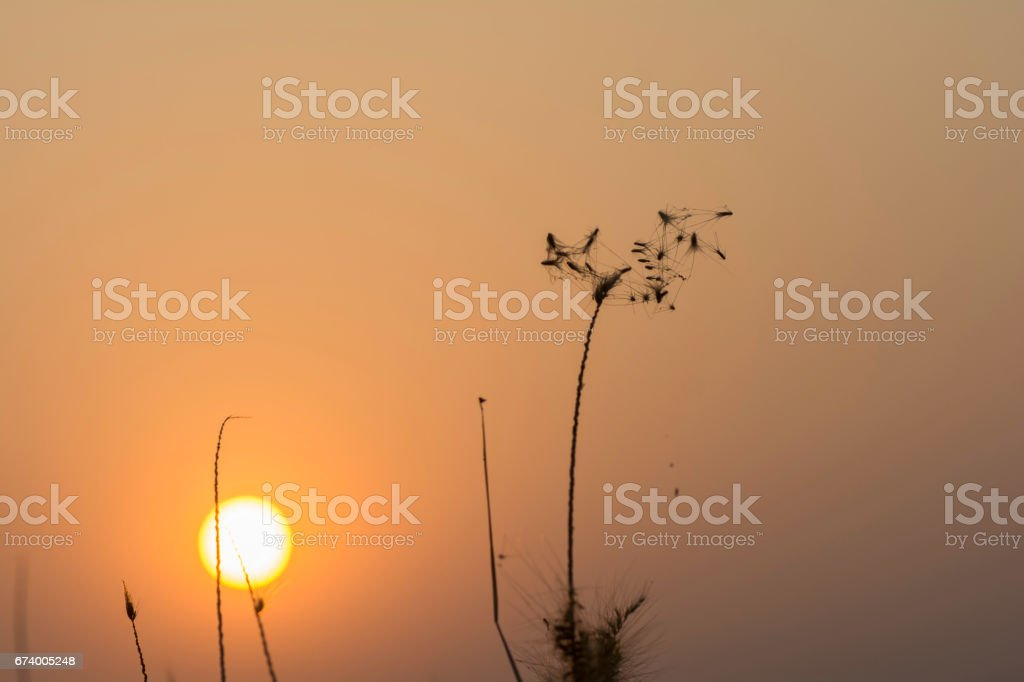 Grass flowers silhouette, sunset sky background royalty-free stock photo