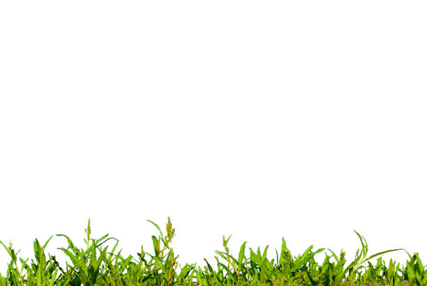 Grass Foreground and White Background stock photo