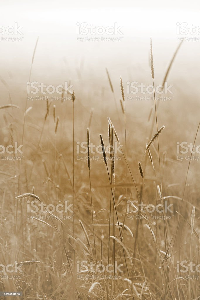 Grass in field on a misty morning royalty-free stock photo