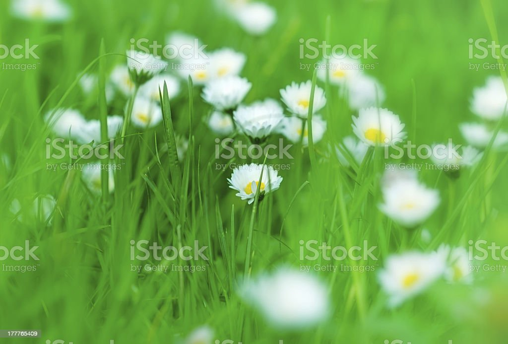 Grass in focus and lot of daisy out royalty-free stock photo