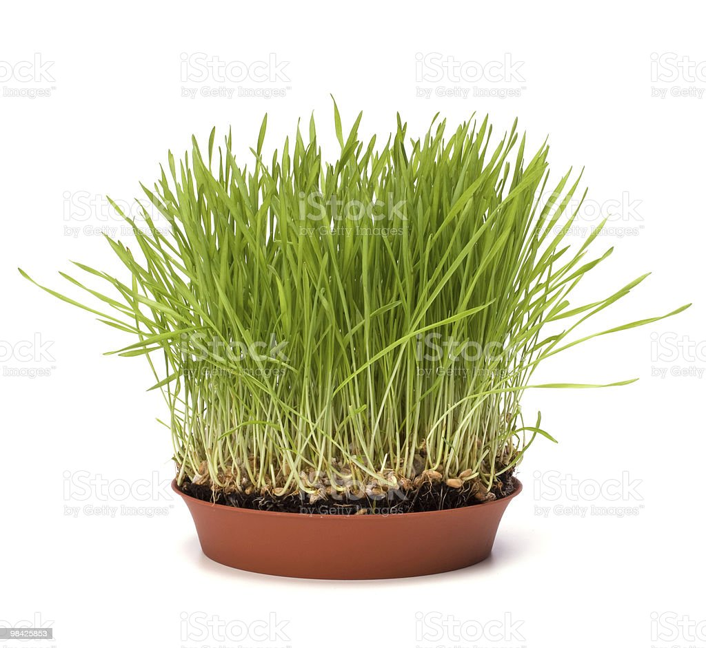 grass in pot royalty-free stock photo