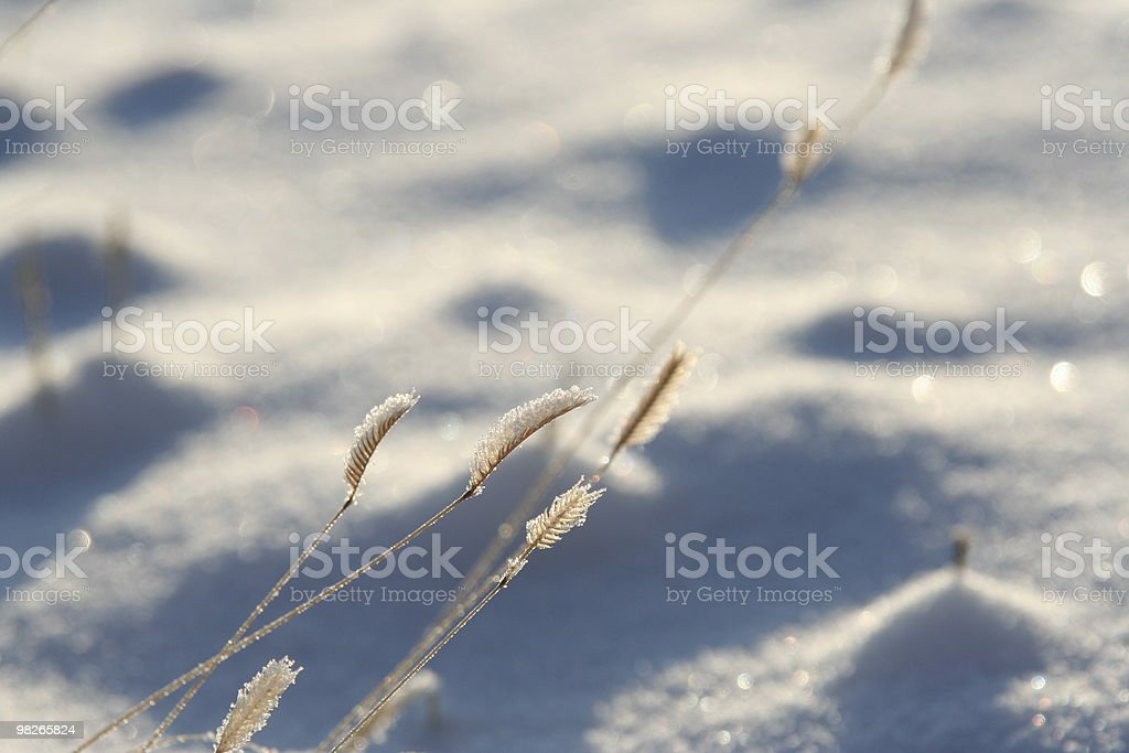 Grass in snow royalty-free stock photo