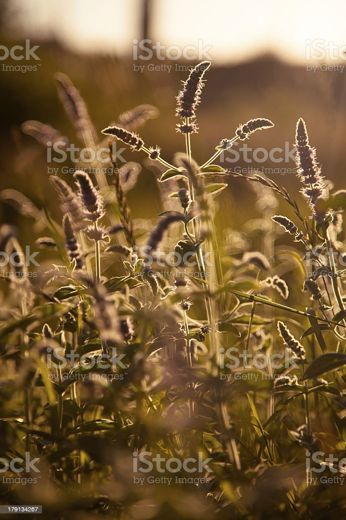Grass in summer sun royalty-free stock photo