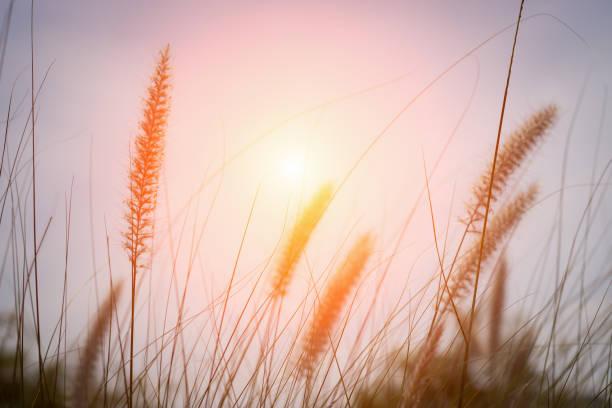 Grass im Sonnenuntergang – Foto