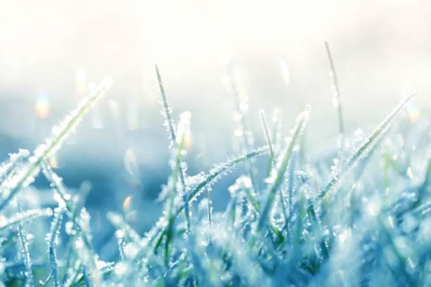 frost çimen. sabah güneşin çimenlerin üzerinde frost. kış bitki arka planda soğuk mavi tonları. çim arka planda yumuşak pastel renkler. kasım ve aralık. geç sonbaharda. kış saati - kırağı stok fotoğraflar ve resimler