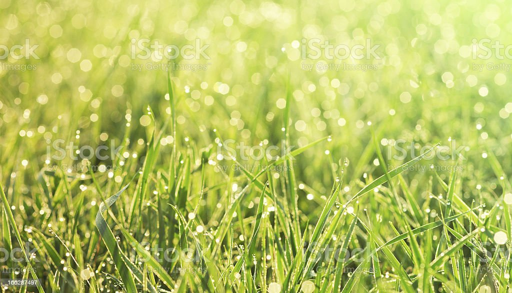grass in the morning dew close-up royalty-free stock photo