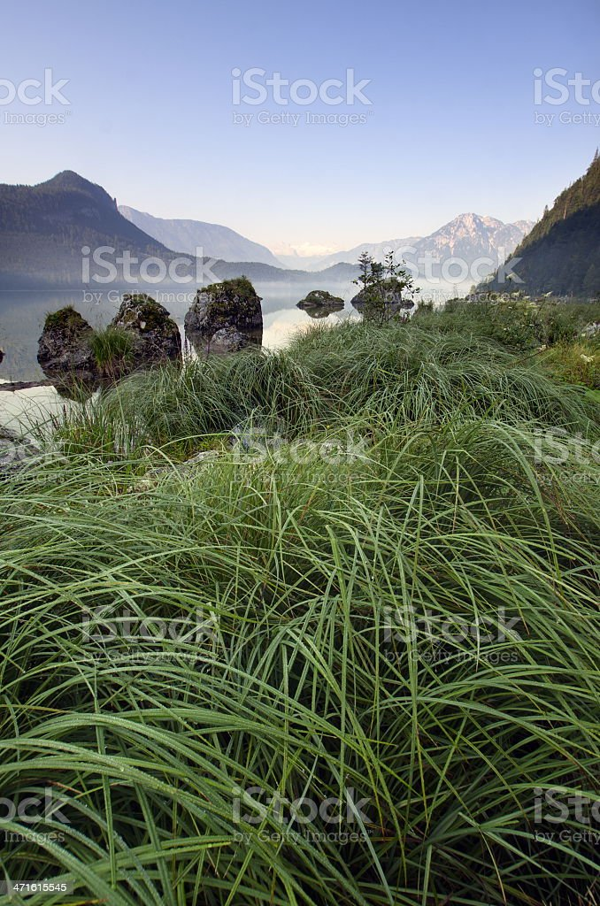 Grass in the morning royalty-free stock photo