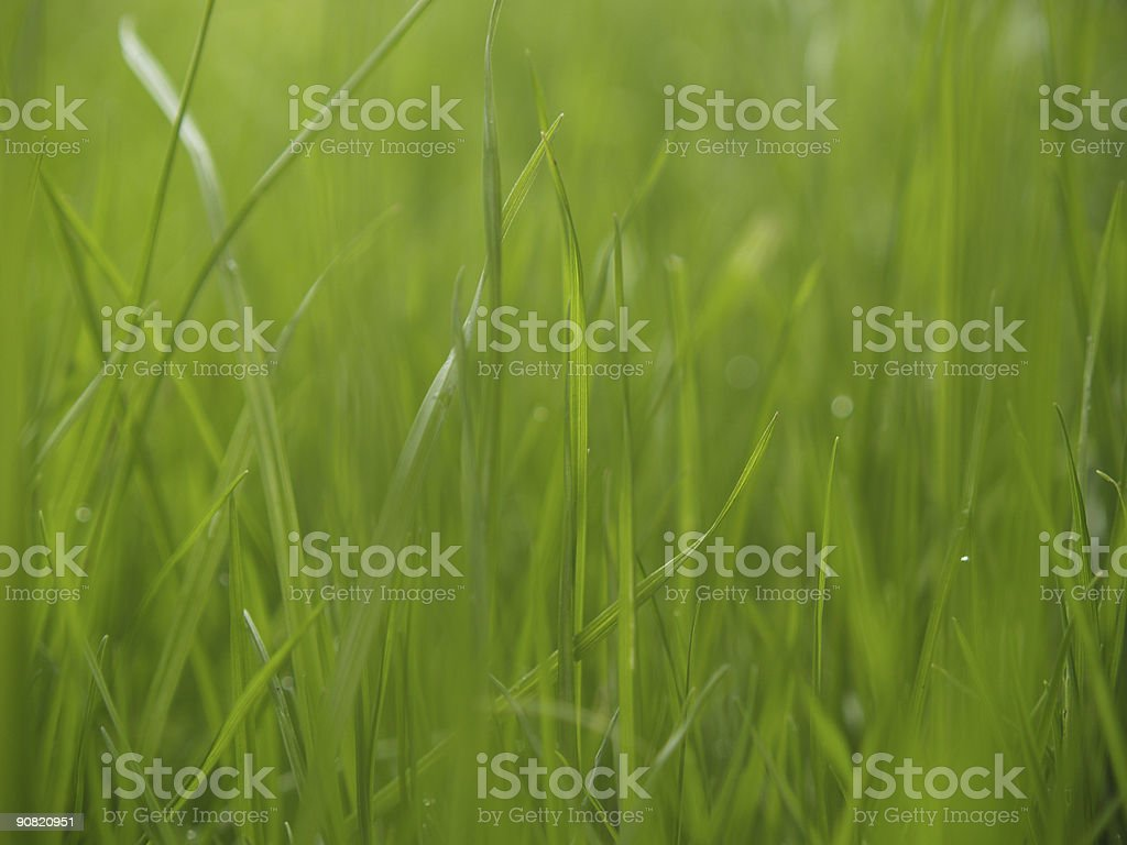 Grass in the Rain royalty-free stock photo