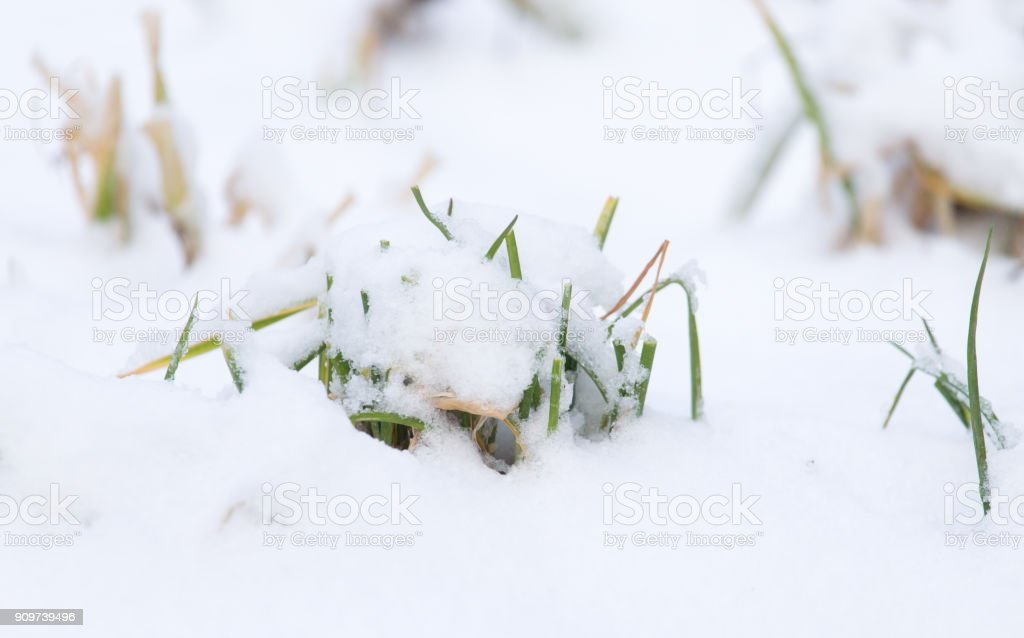 Grass in the snow in the winter in nature stock photo