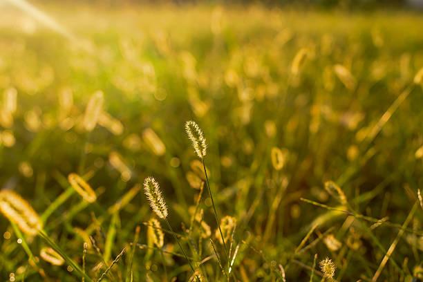 grass inflorescence - byakkaya stok fotoğraflar ve resimler