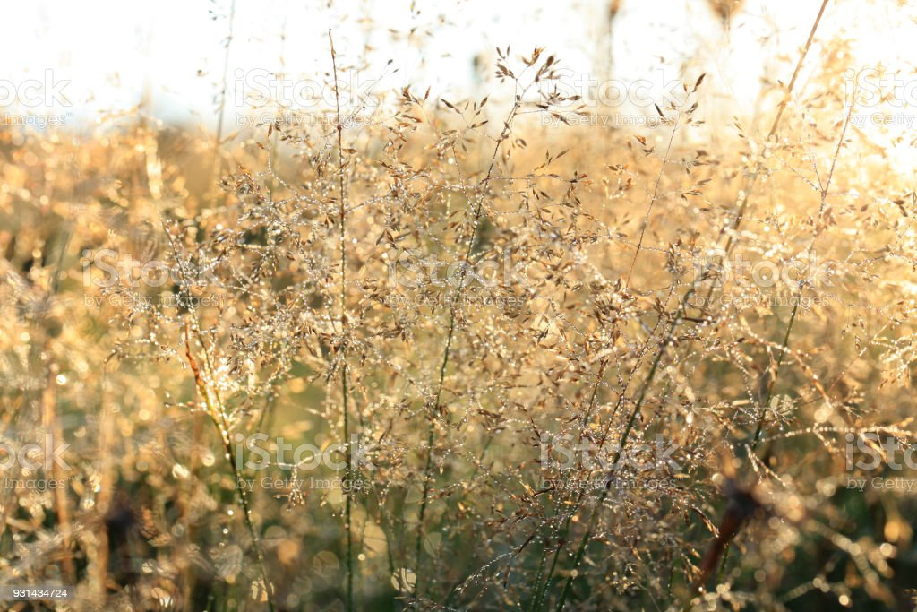 Grass inflorescences with dew drops at sunrise on a wild meadow. stock photo