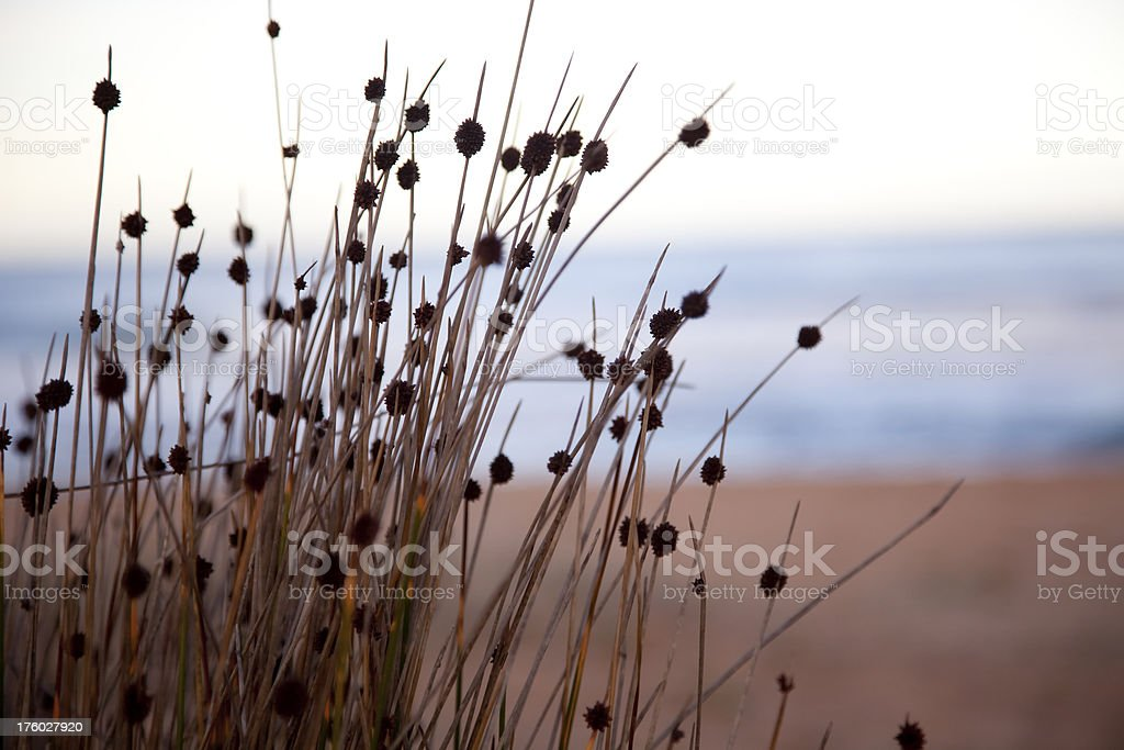 grass on a beach royalty-free stock photo