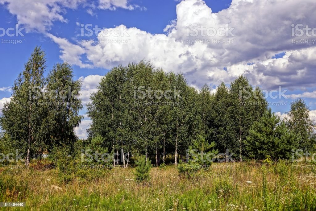 Grass on a meadow in front of a birch grove against the sky and clouds stock photo