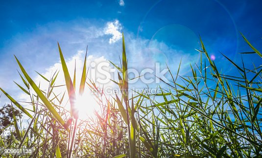 Grass on grassland on sunrise blue sky or azure sky background