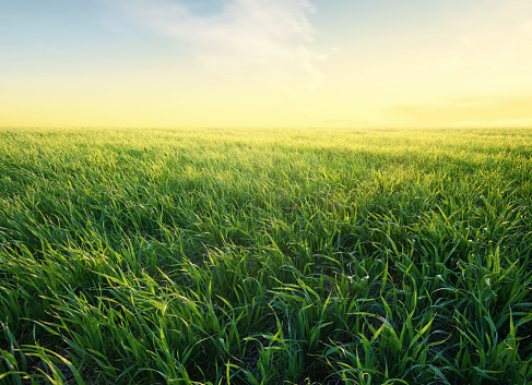 Grass on the field during sunrise. Agricultural landscape in the summer time