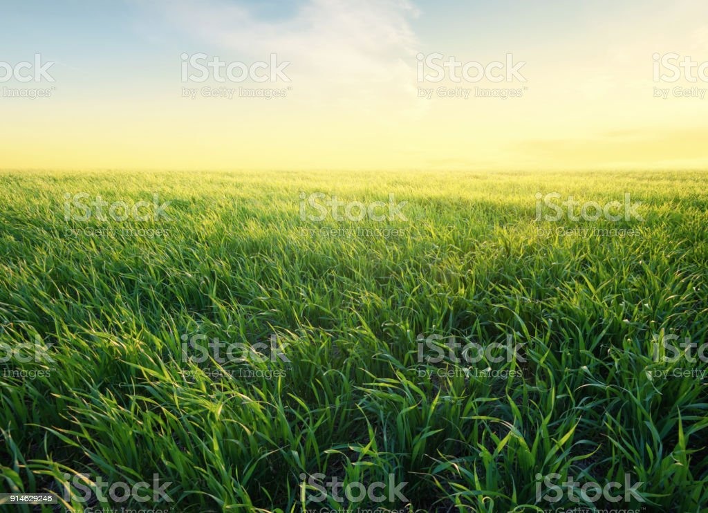 Grass on the field during sunrise. Agricultural landscape in the summer time stock photo
