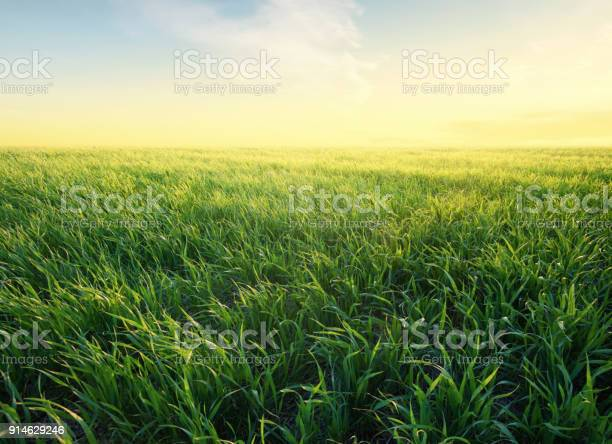Photo of Grass on the field during sunrise. Agricultural landscape in the summer time