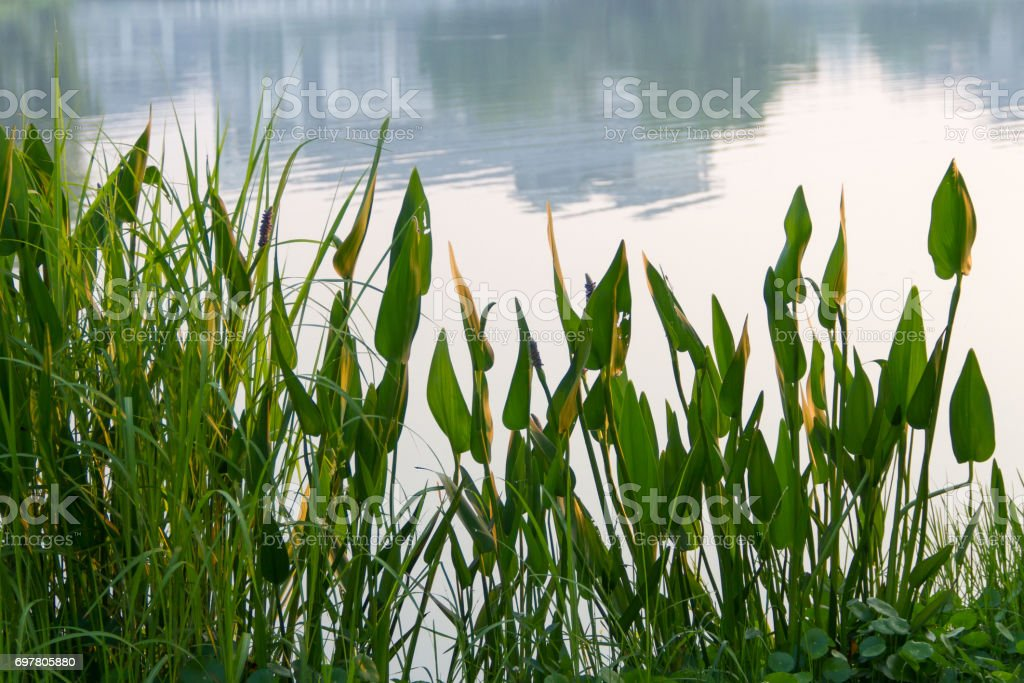 Grass on the pond. stock photo