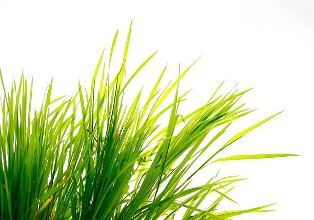 Grass on White stock photo
