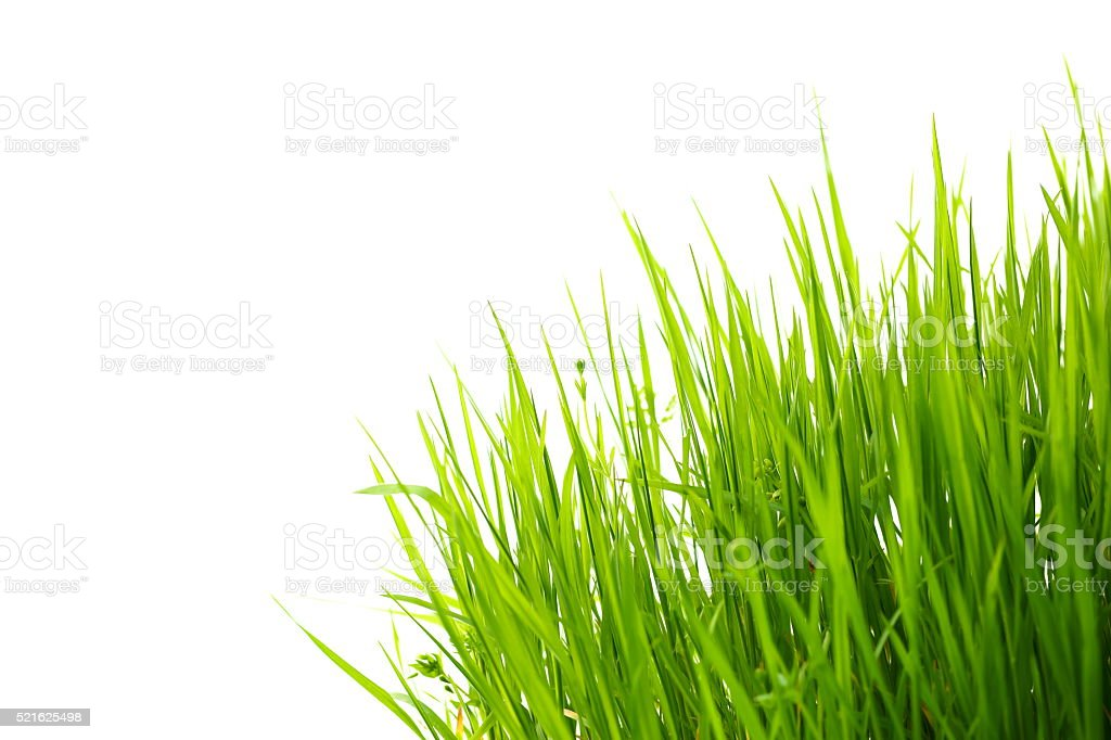 Gras auf Weiß - Lizenzfrei Blatt - Pflanzenbestandteile Stock-Foto