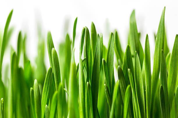erba su bianco - filo d'erba foto e immagini stock