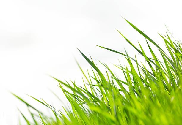 erba su bianco xxxl - filo d'erba foto e immagini stock