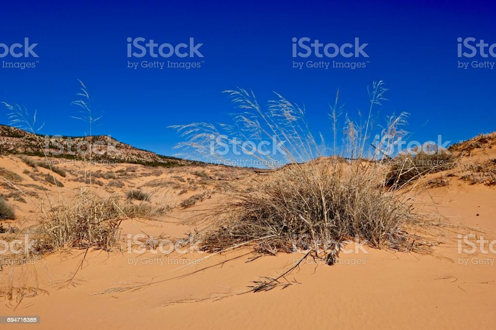 Grass on yellow sand dunes. stock photo