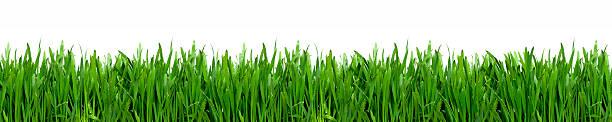 erba - grass isolated foto e immagini stock