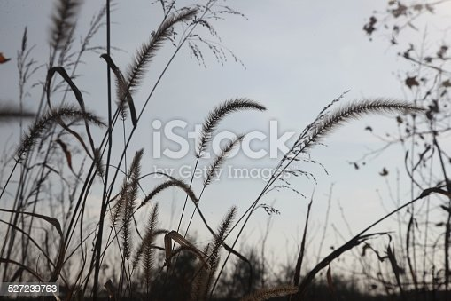 519188550 istock photo Grass 527239763