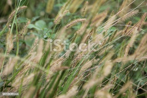 istock grass 955808544